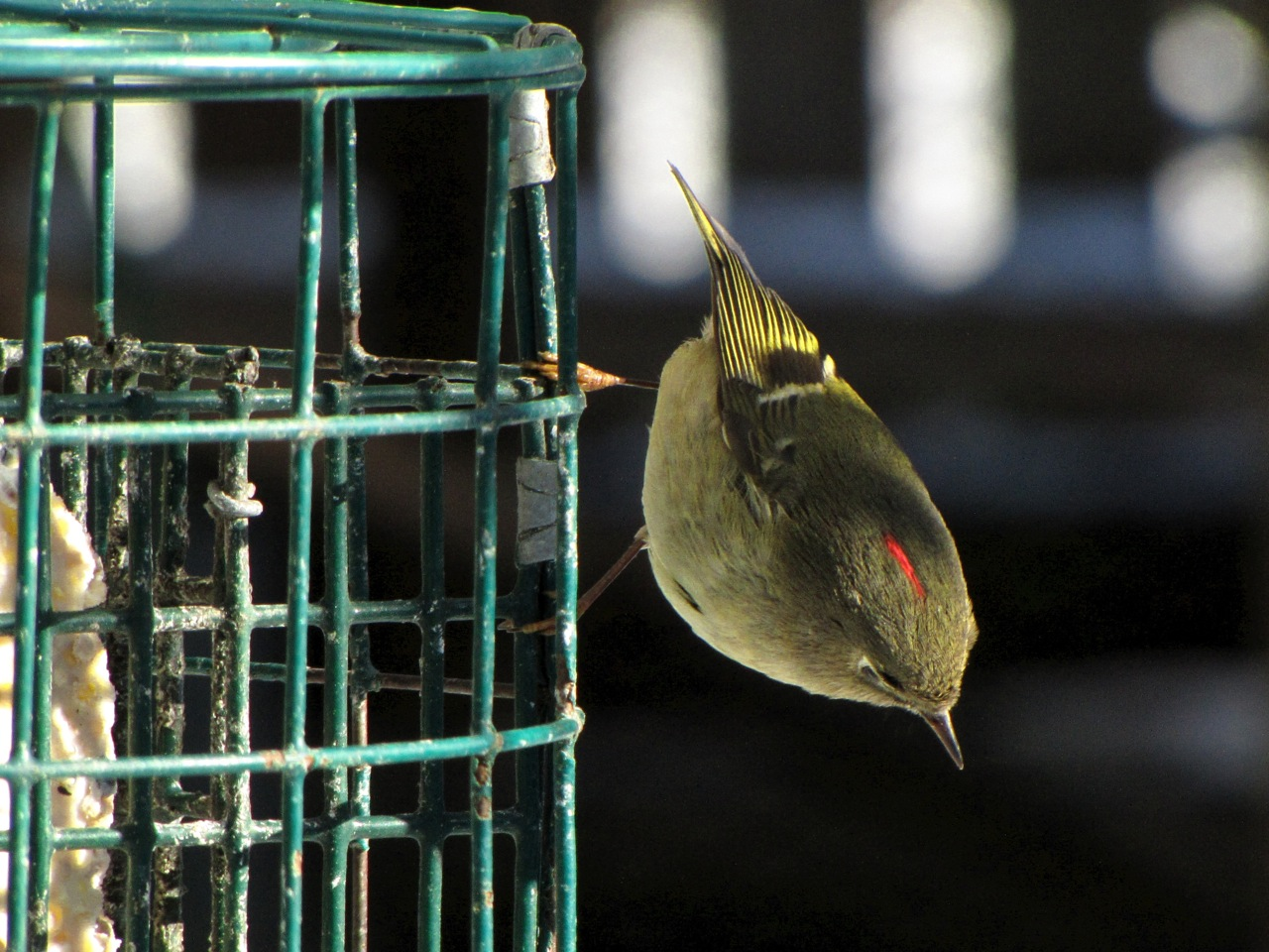 Ruby Crowned Kinglet photograph provided by Don Willott