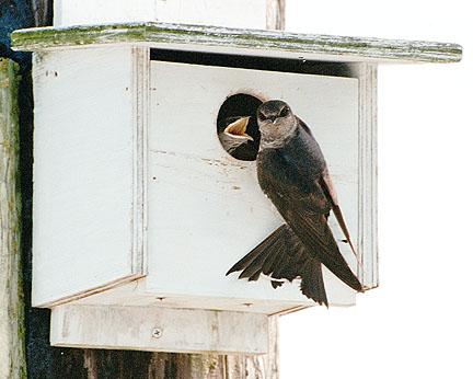 Purple Martin wooden nest box.jpg
