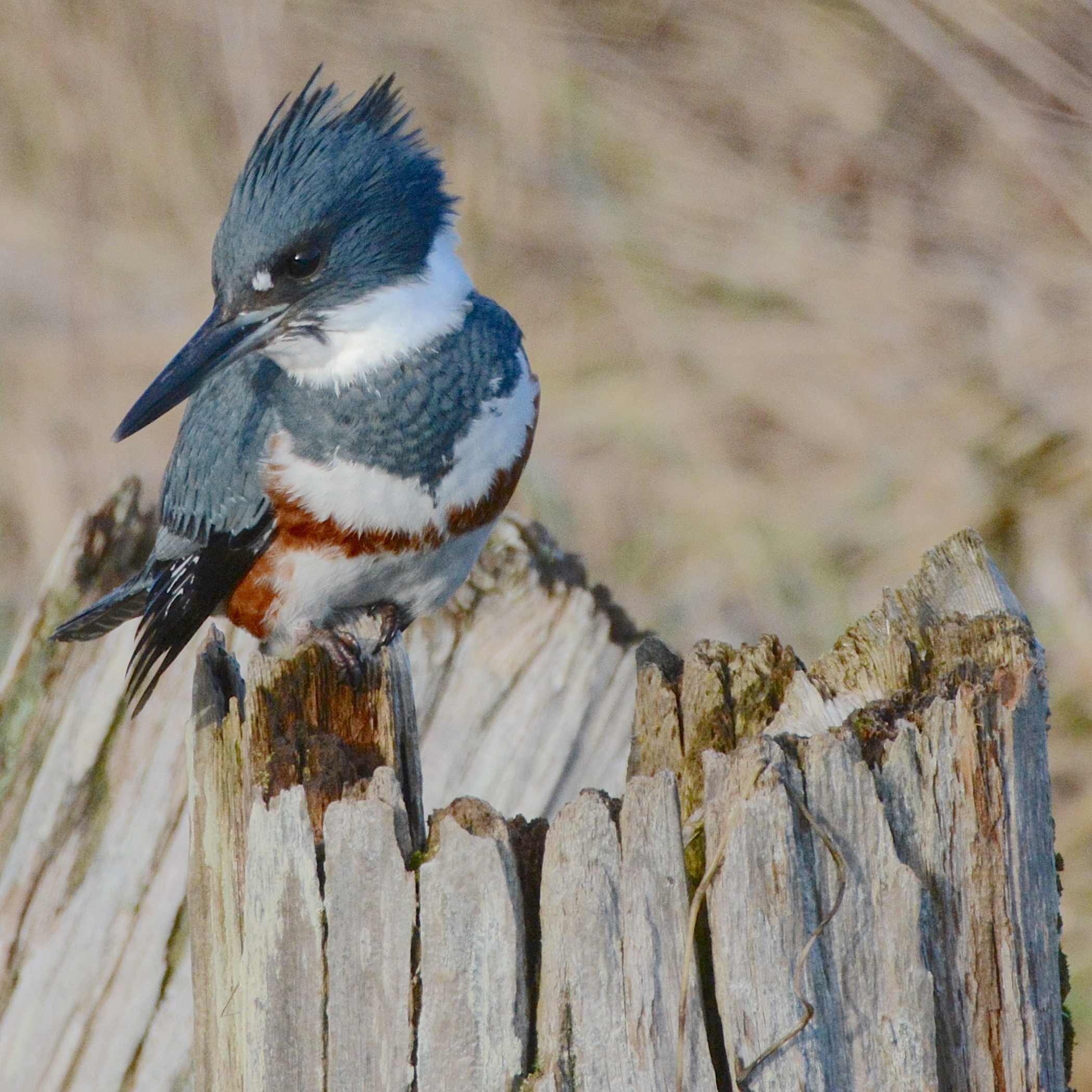 Photograph of Kingfisher provided by Jay Wiggs