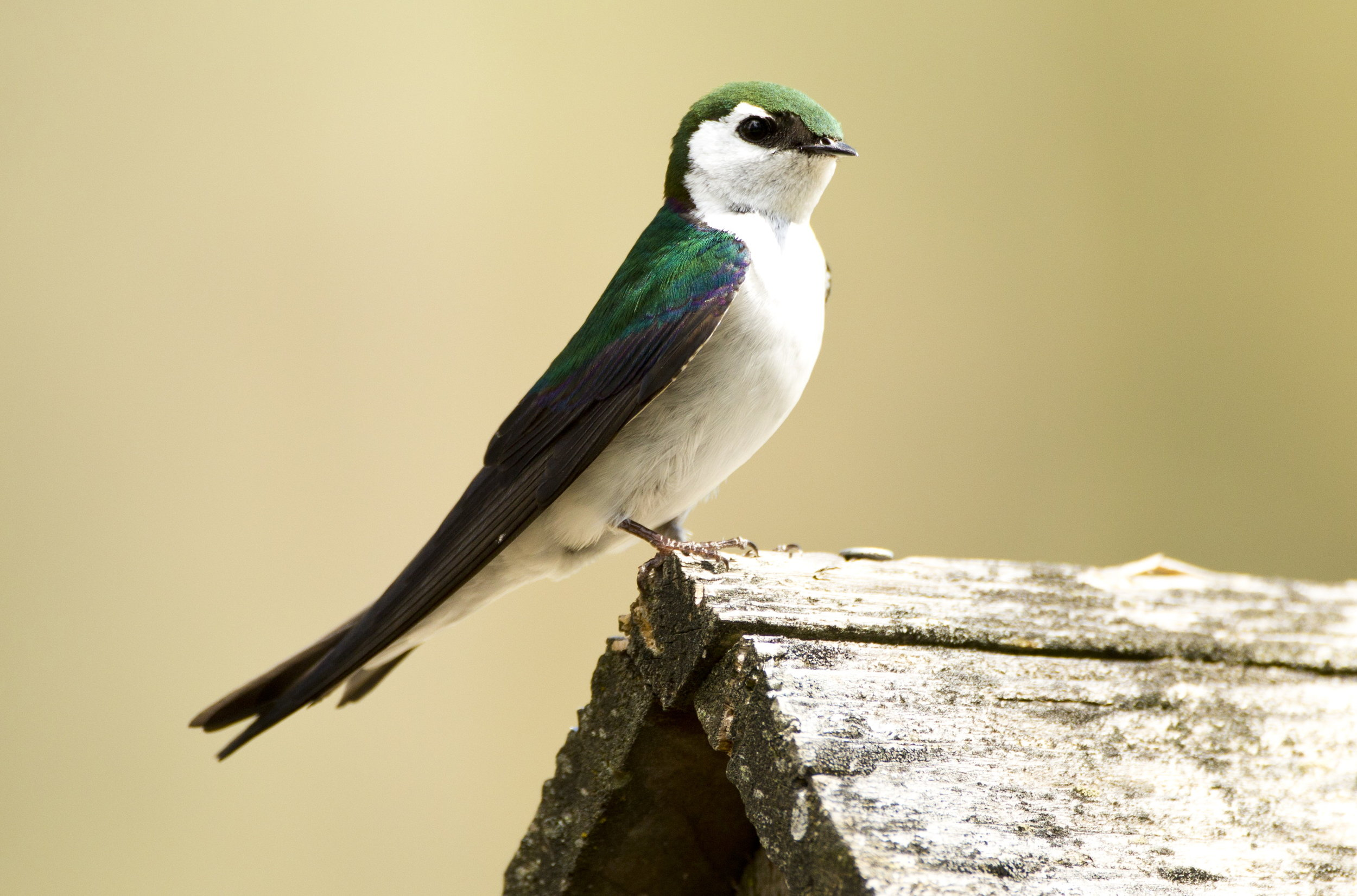 Violet -green  swallow provided by Janine Schutt