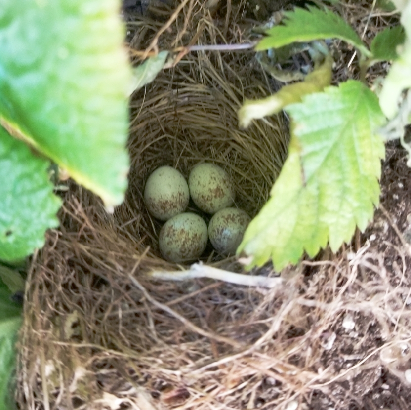 Photograph of Junco nest provided by Mackenzie Caitlin Szerlog