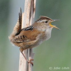 """Photograph of """"Marty"""" the Marsh Wren by Idie Ulsh"""