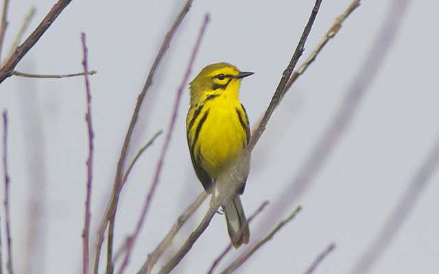 Photograph or Prairie Warbler by Henry McLin