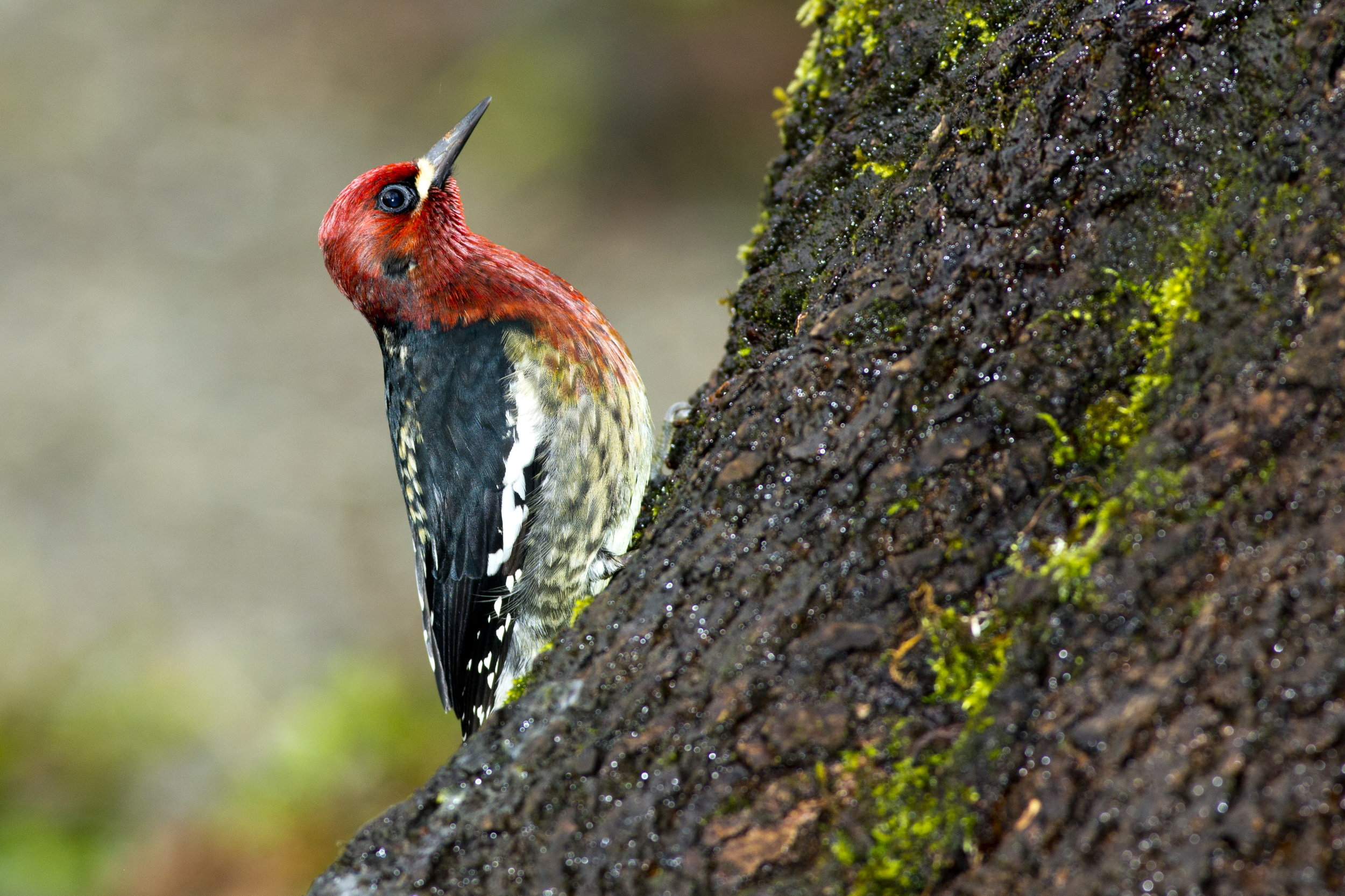 Photograph of Red-Breasted Sapsucker by Janine Schutt