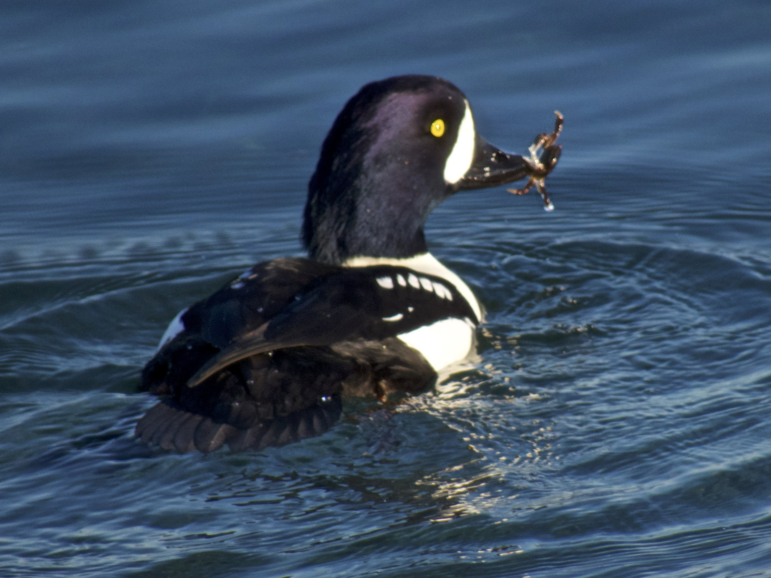 Washington Department of Fish & Wildlife - Conservation(photograph of male Barrow's Goldeneye with crab provided by Don Willott)