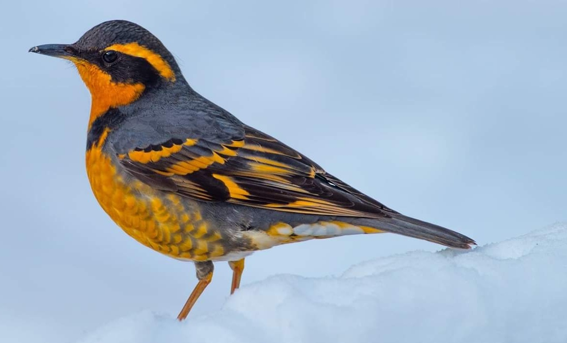 West Sound Wildlife Shelter - Serving the greater western Puget Sound Region(photograph of Varied Thrush in the winter snow provided by John Wise.)
