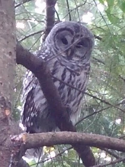 Barred Owl provided by Don Weissinger
