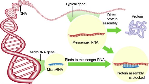 MicroRNA.png