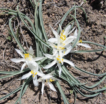 Sand Lily