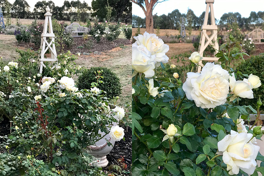 Maggie' - the rose named in honour of fashion icon, Maggie Tabberer - is thriving in such stylish surrounds