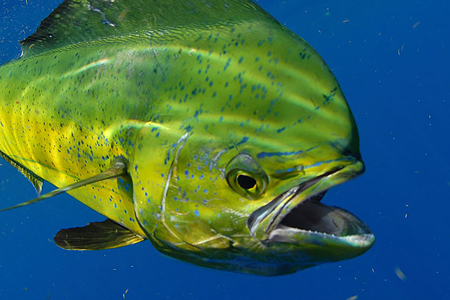 Mahimahi  Photo Credit: NOAA Fisheries