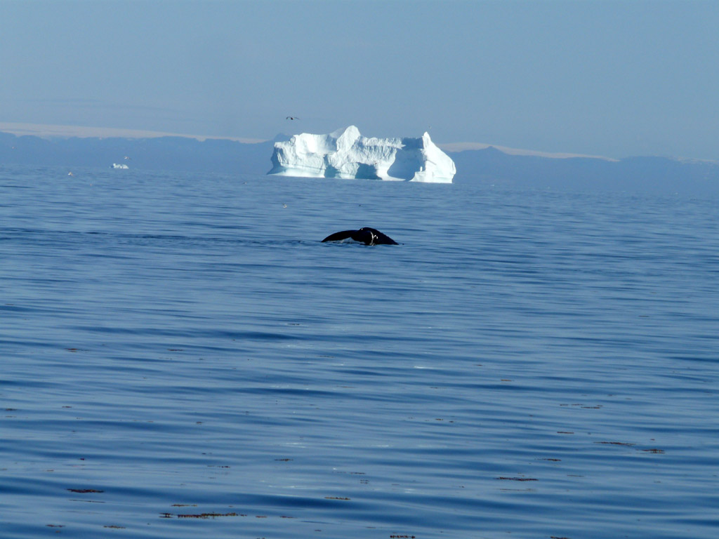 a whale passing by, en route from Aasiaat to Qasigiannguit