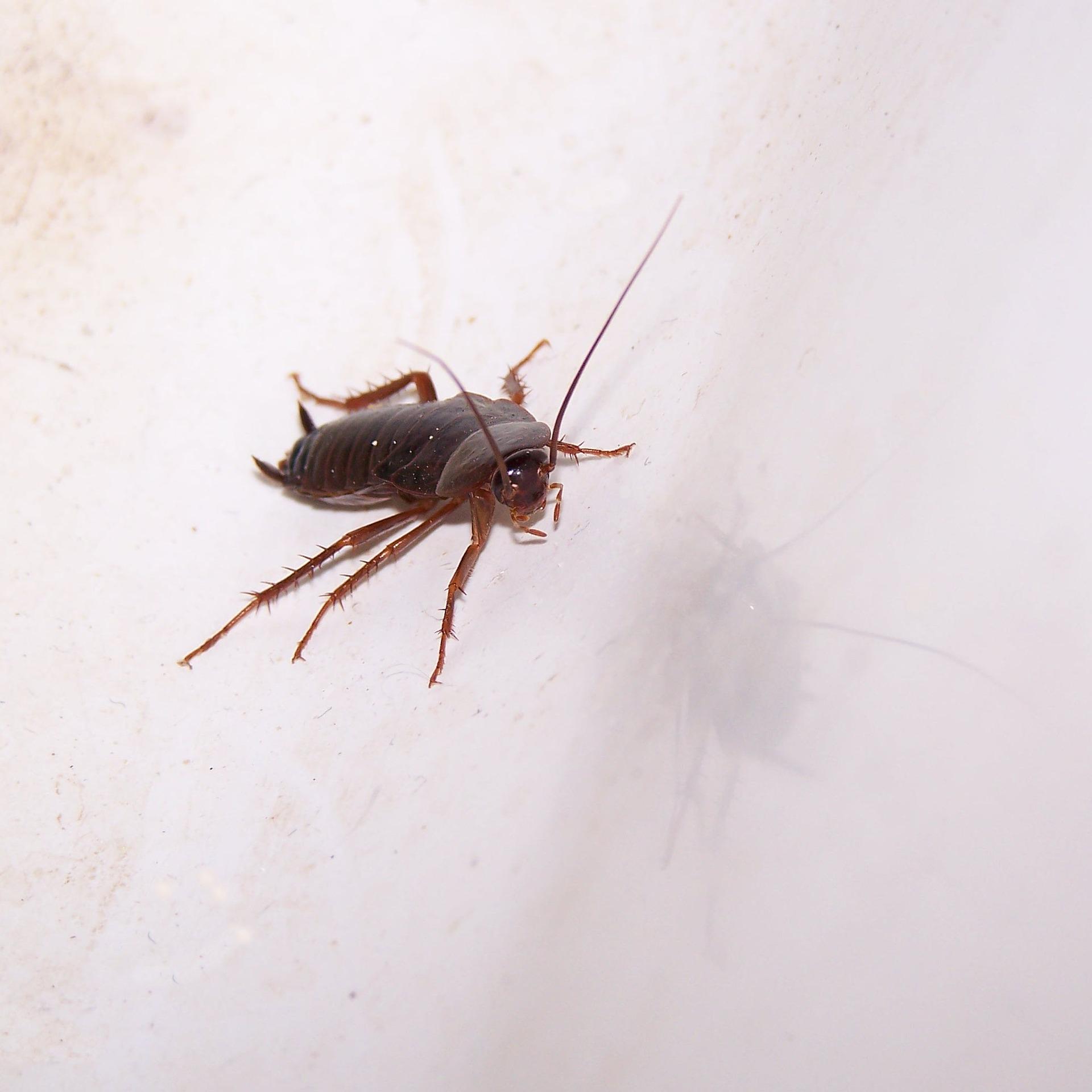 cockroach-667043_1920.jpg