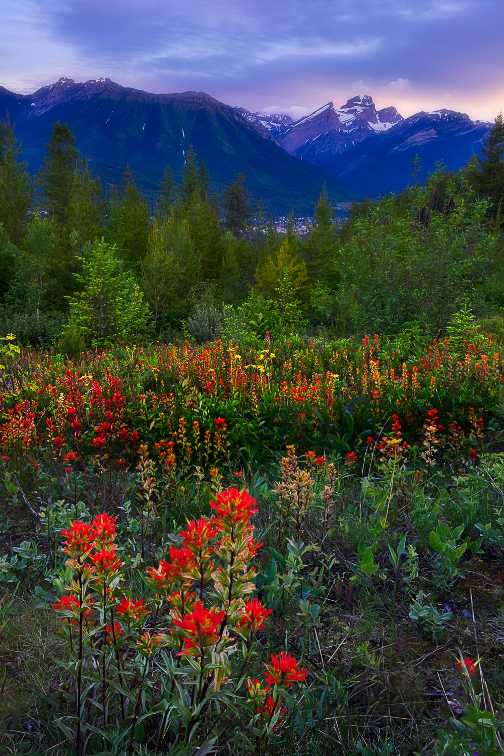 Fernie Wildflowers - Indian Paintbrush coating the meadow floor at sunrise - 15 matted and framed prints and 10 canvas prints available