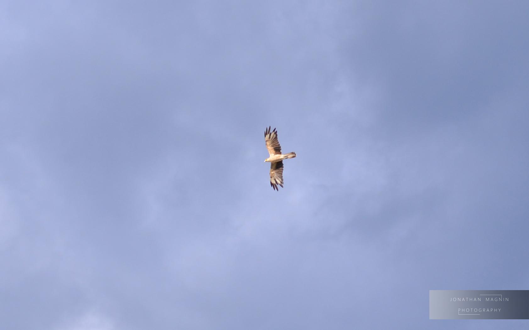 Eagle © Jonathan Magnin