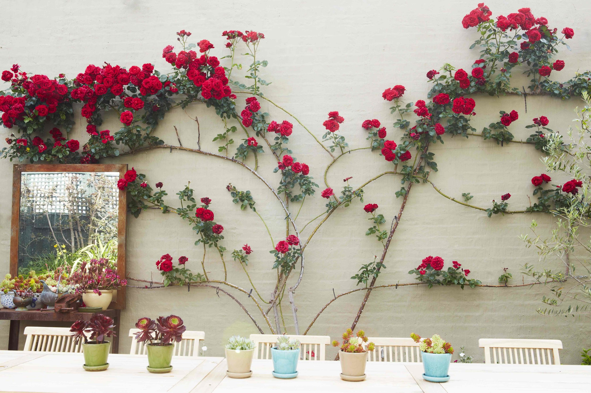 climbing rose trained to wall