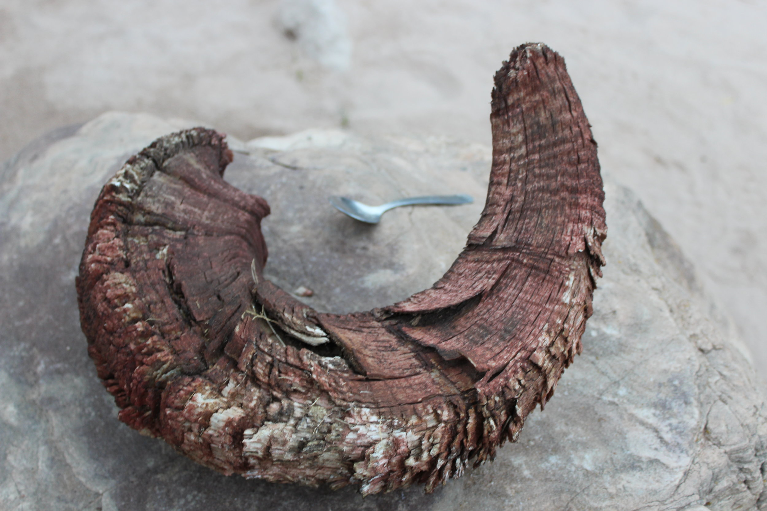 This magnificent ram horn was left at the beach.