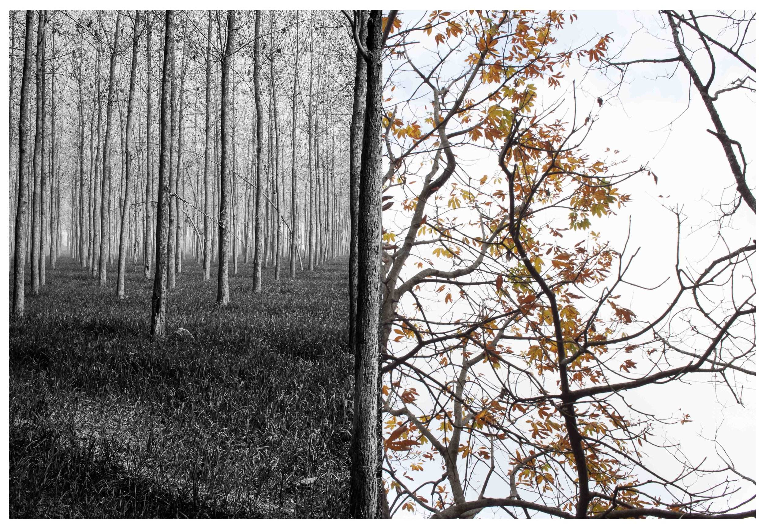It's always wonderful photographing trees. Especially when they're undergoing transition in different seasons. Here's a diptych of two different kinds of trees in a different state of transition,  in Kaladhungi and Nainital, Uttarakhand. © Tanushree Singh