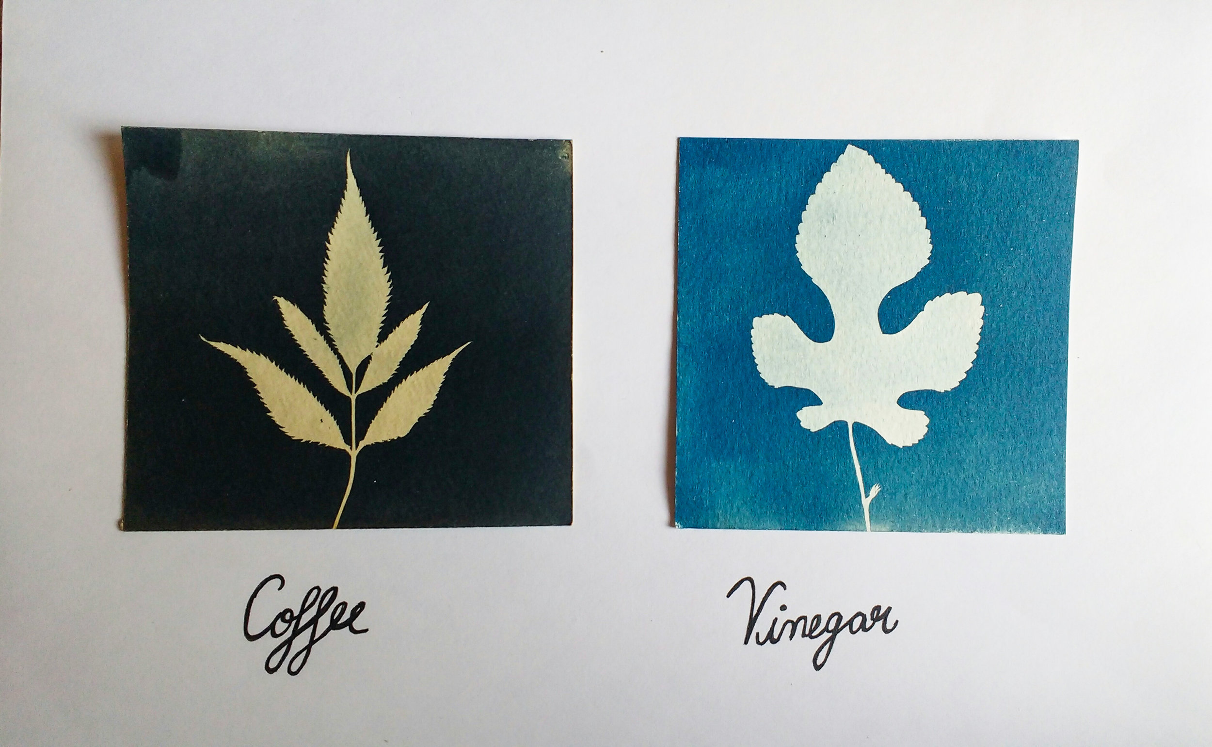 Cyanotype photograms using coffee and vinegar