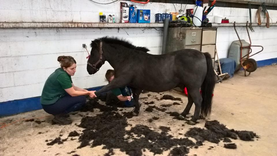 Sir Henry getting his full clip as he was wearing his winter woolies already!!! Spoilt boy who thinks he is a high class TB, and we certainly treat him like one!!