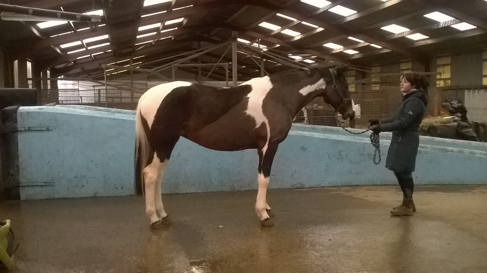 local competition/hunting horse: after (5 weeks of swimming)