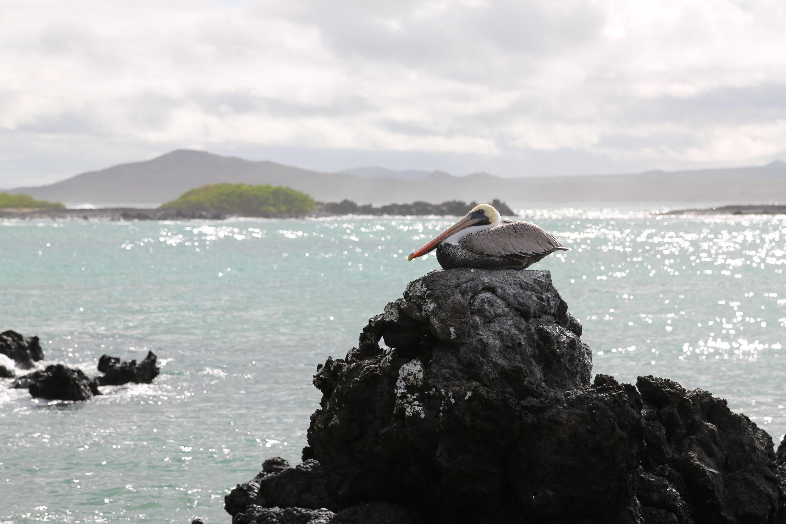 Pelican in Galapagos