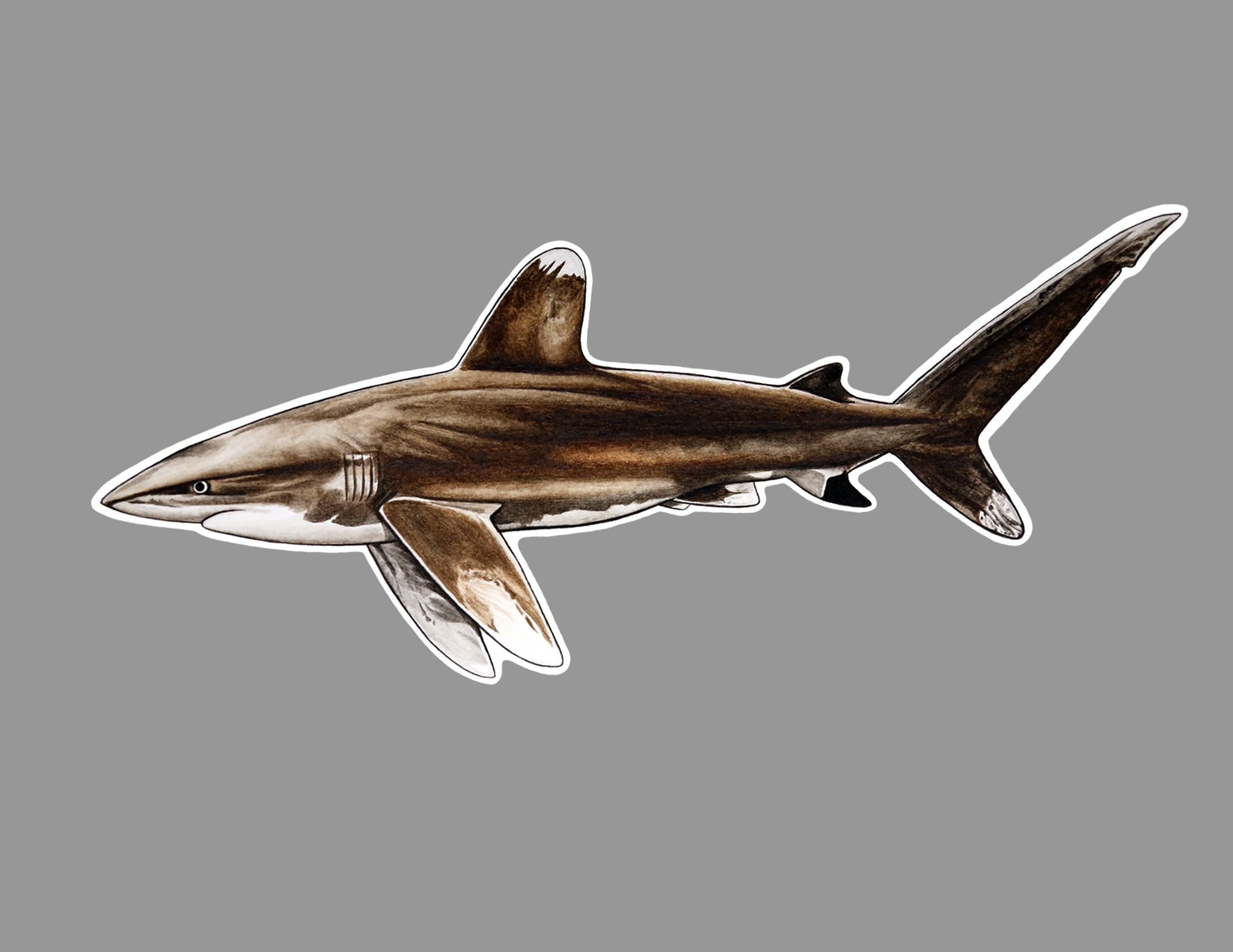 oceanic whitetip sticker.jpg
