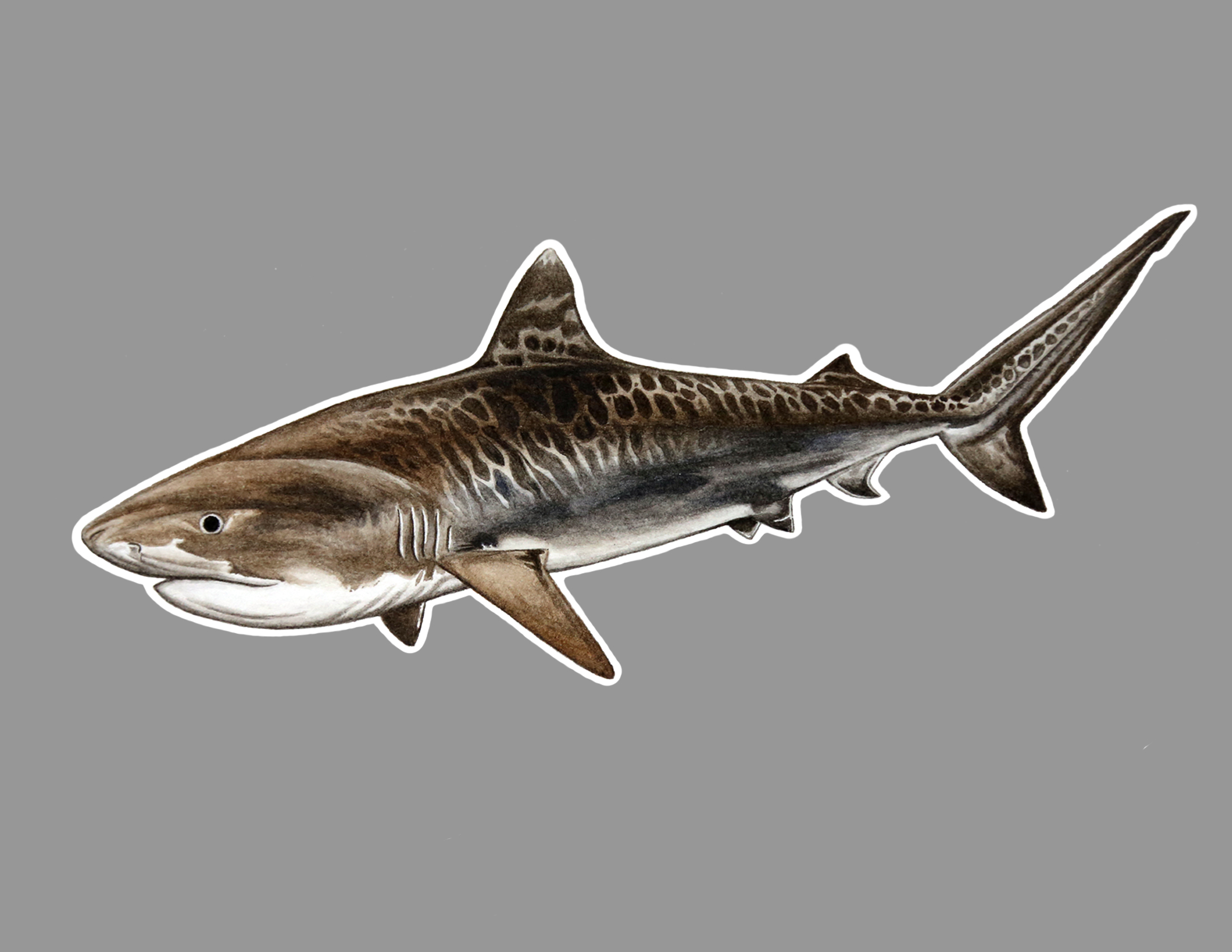 Tiger shark sticker.jpg