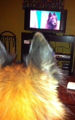 Moki watching a Belgian Tervuren at the Crufts Dog Show -- but that's in English