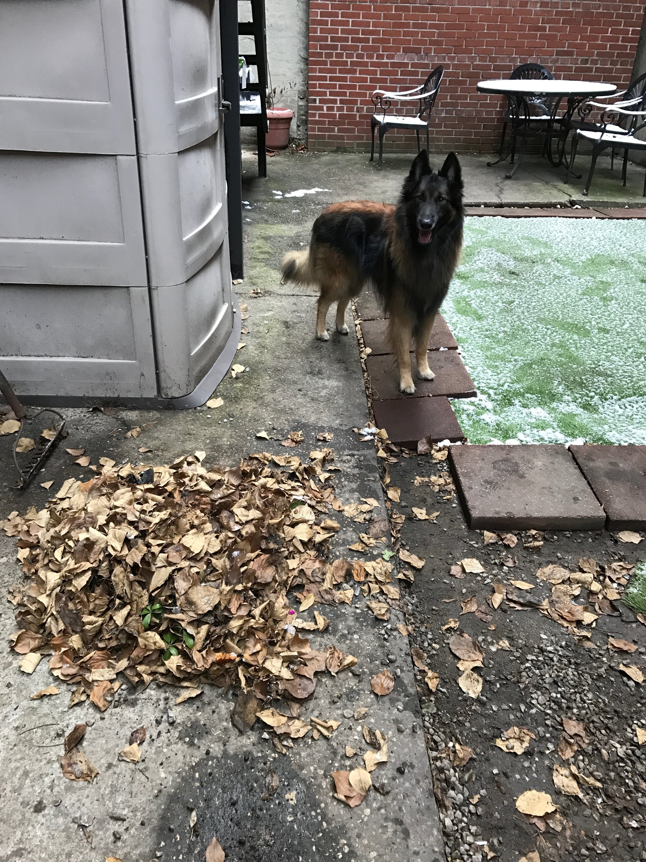Moki waiting to jump into the raked leaves before I have a chance to bag them