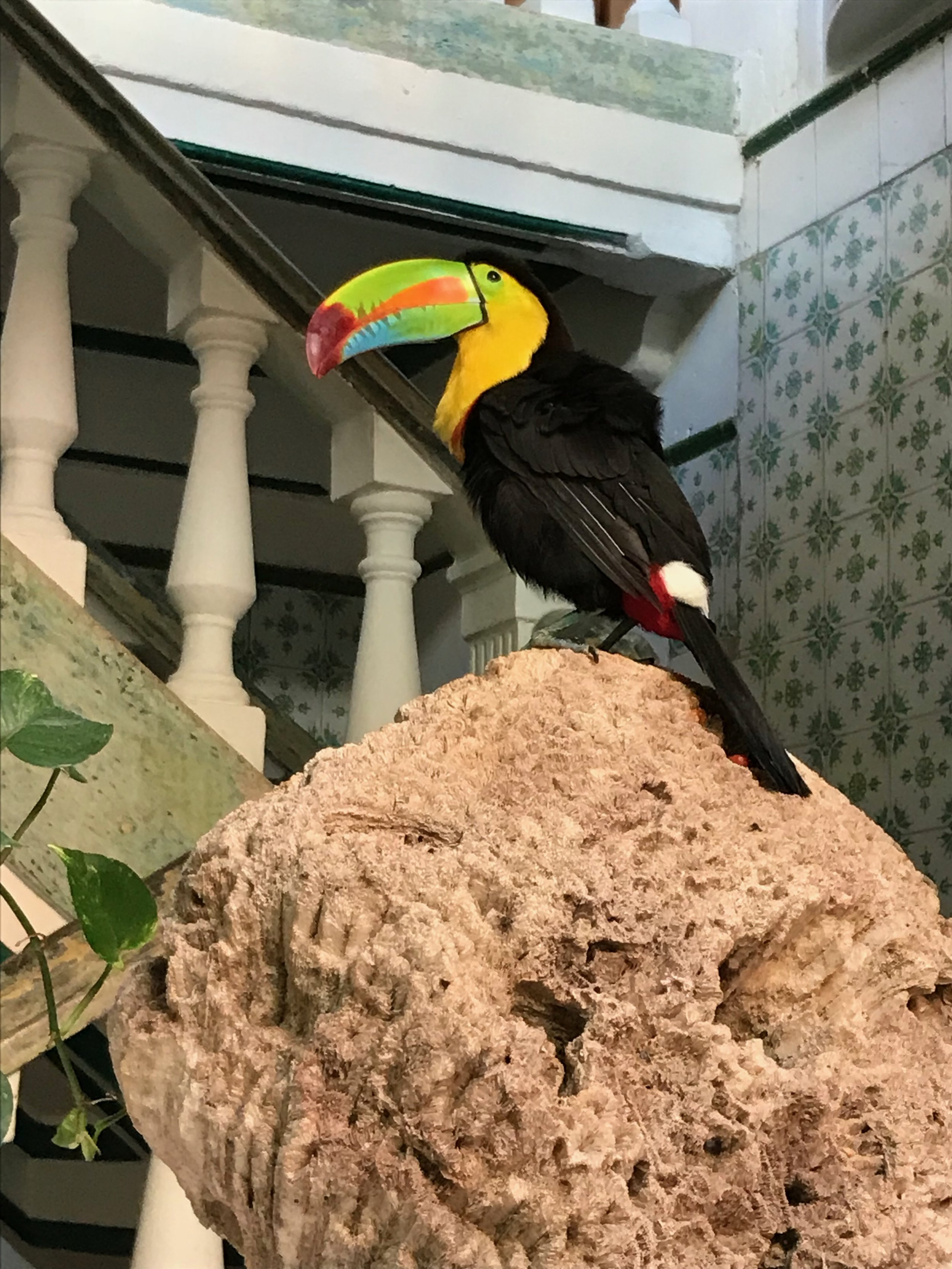 Toucan named Taca at our hotel