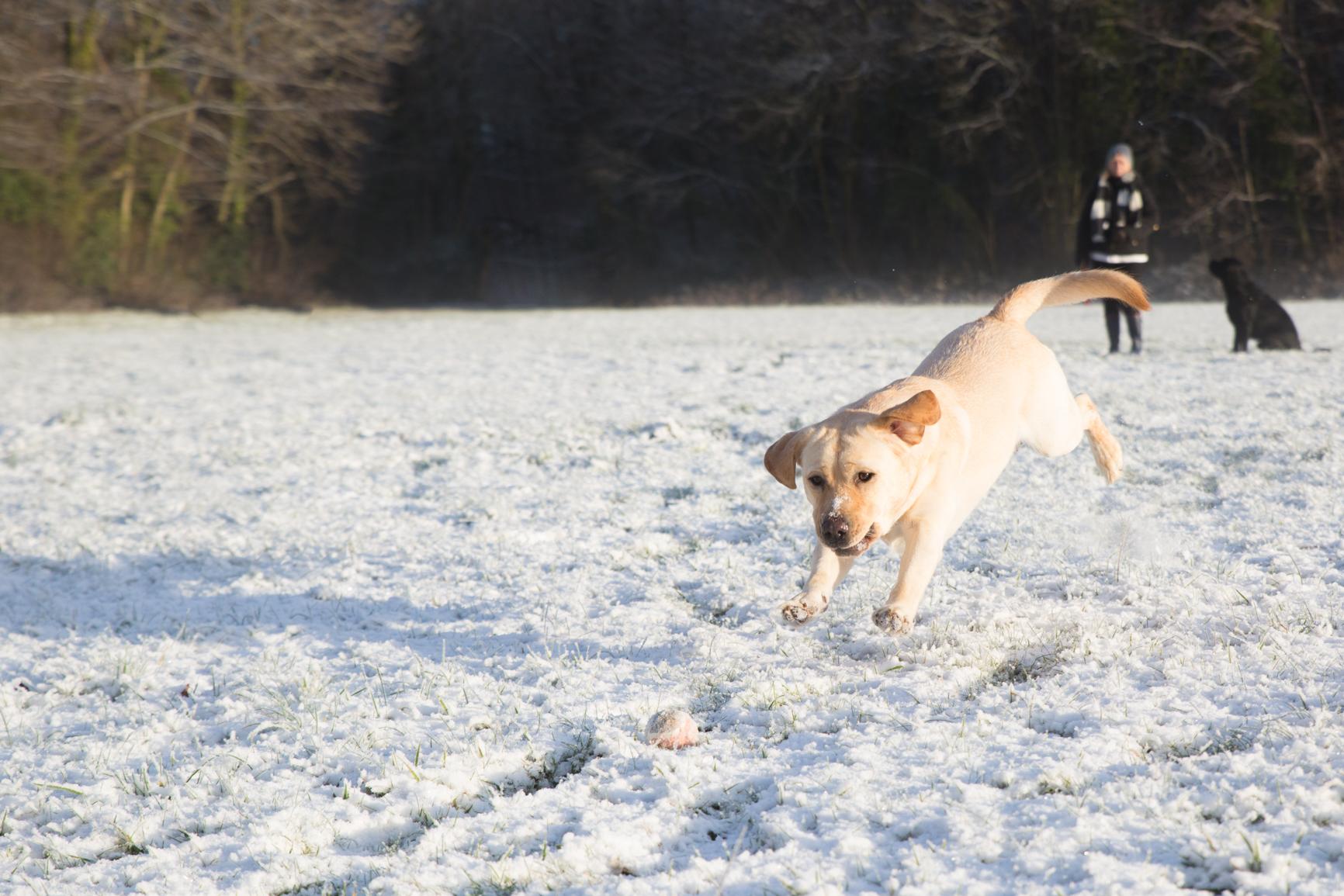 Yellow Labrador enjoying the snow. Photograph by Nia & James The Photographers.