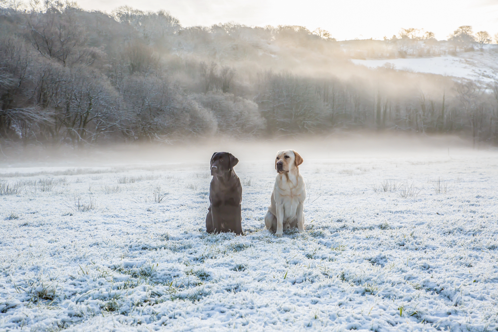 Labradors in the snow. Photo by Cambridgeshire dog and equine photographer Nia & James The Photographers