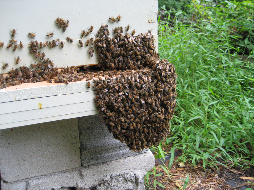 8e877ee898004c3d-clump_of_bees.JPG