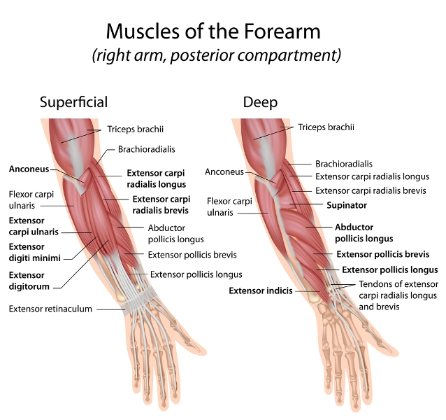 Forearm muscles on Strong Words by Grace Brown | Image care of boneandspine.com by PainRelief