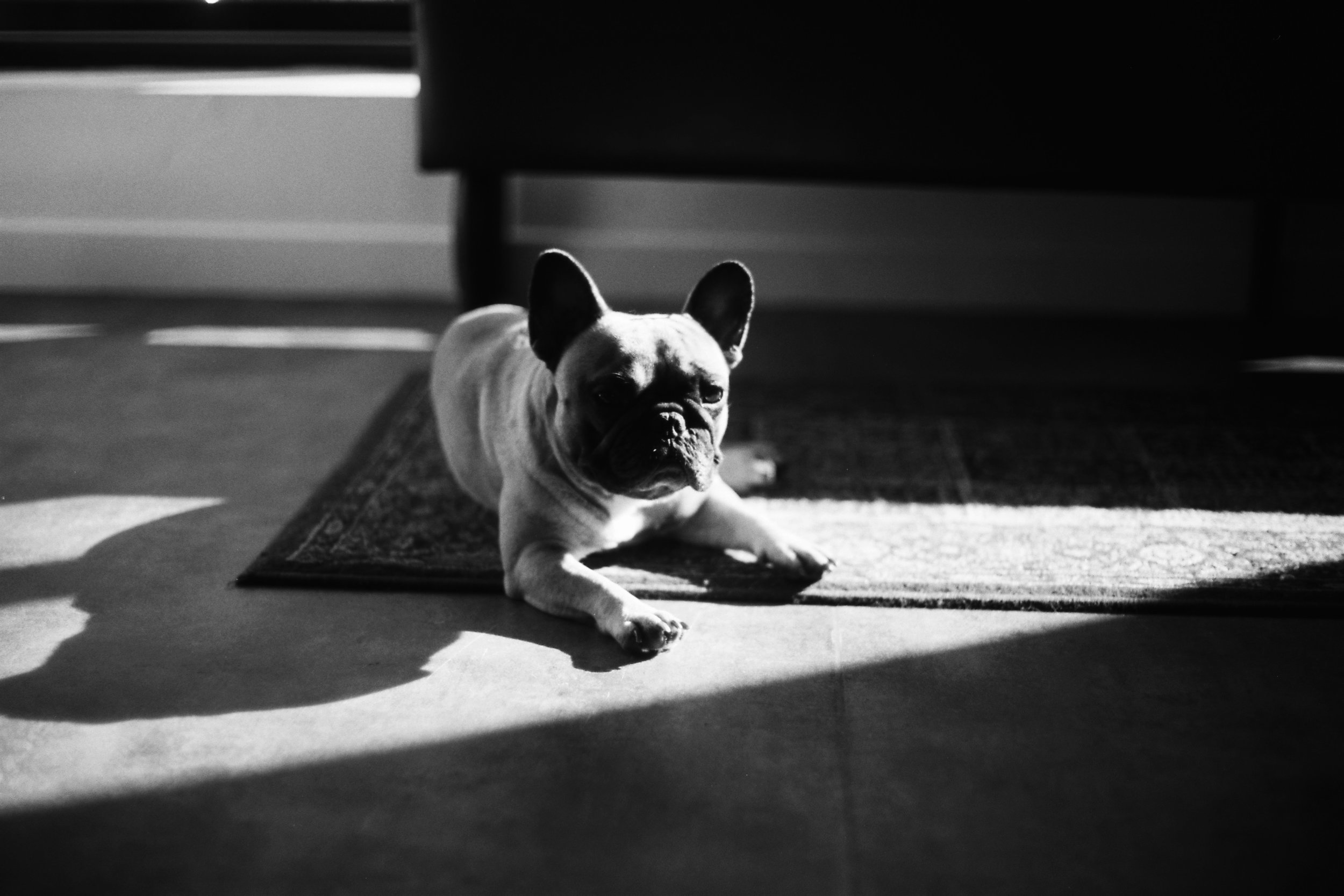 [Irma, the French bouledogue of Lewis Evans]