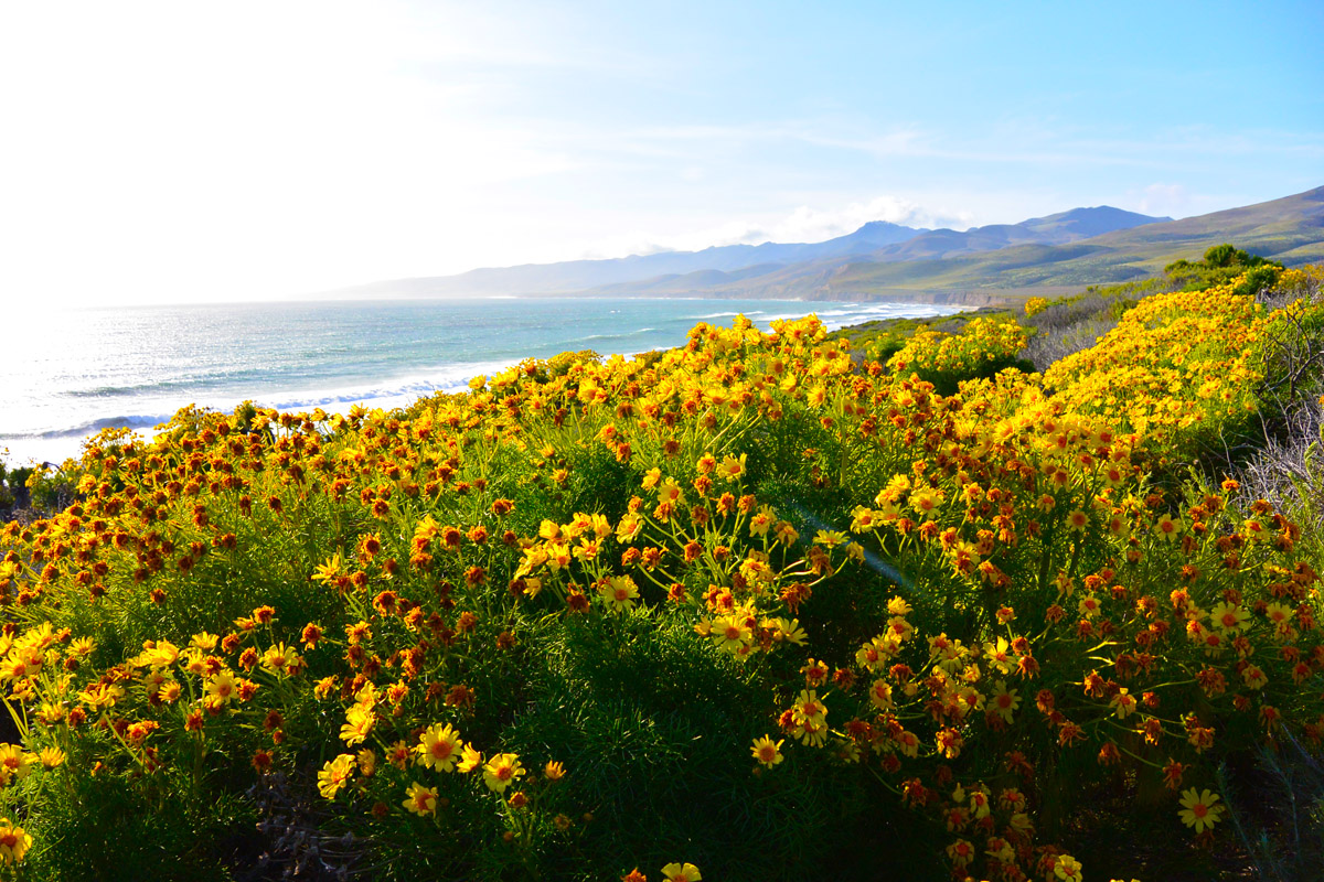 Spring Wildflower :: Santa Barbara