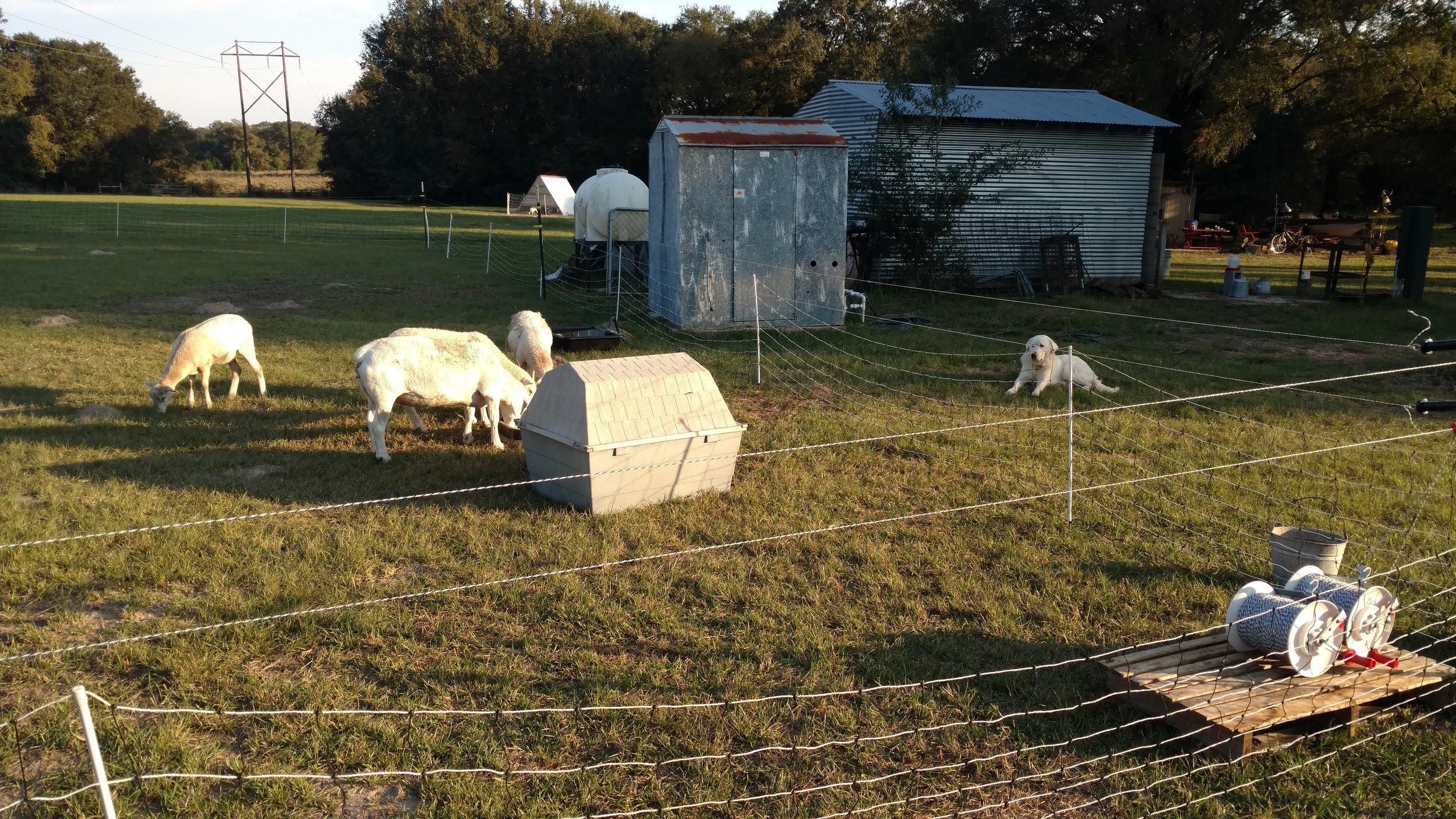 Lillie and her sheep! Notice we were still trying to figure out the electrical fencing situation!