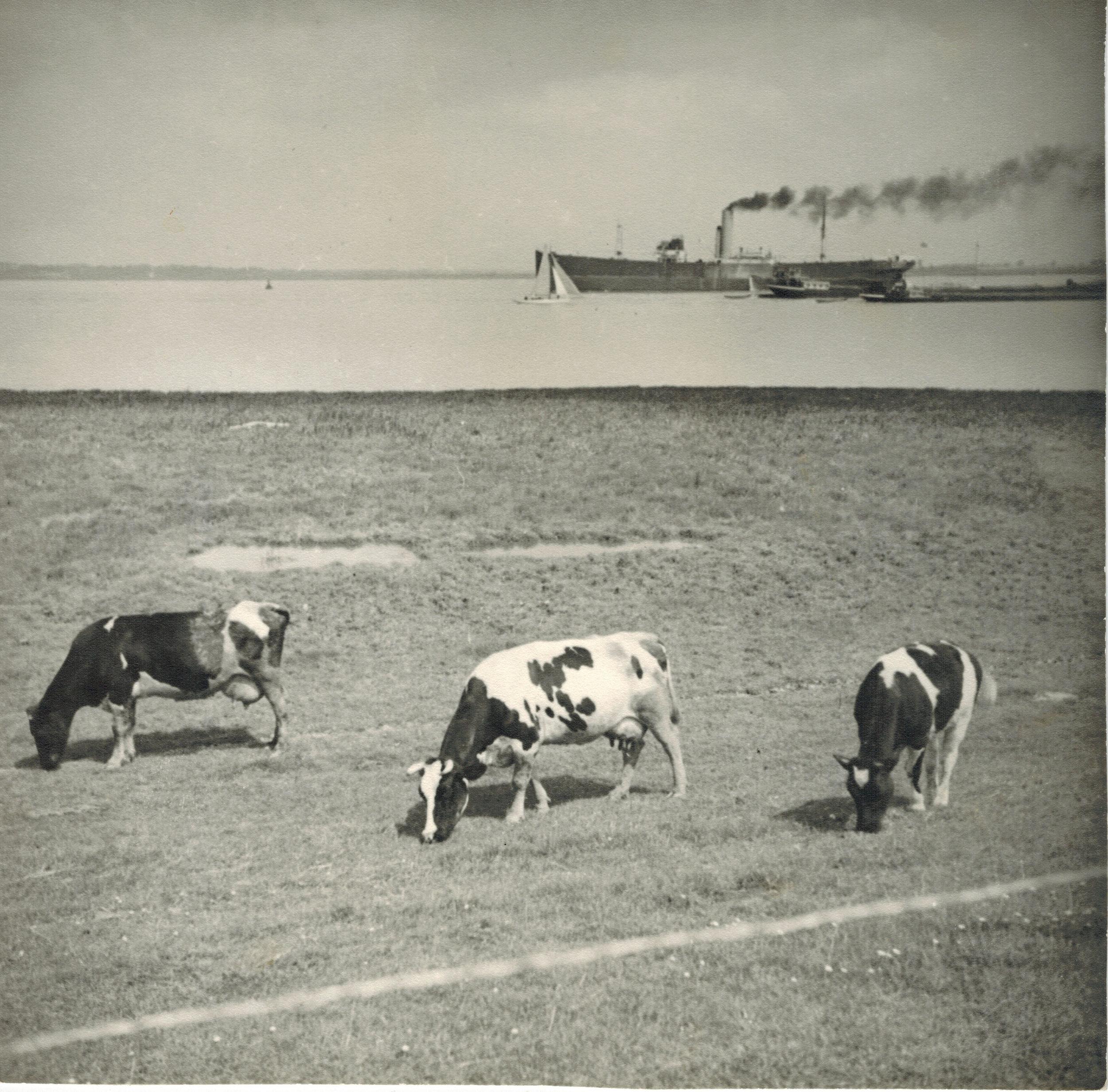 Albert Renger-Patzsch,  Cows grazing with steamship behind (Landscape in Northern Germany) , 1930, Gelatin silver print, stamped verso, 17.2 x 17.2 cm