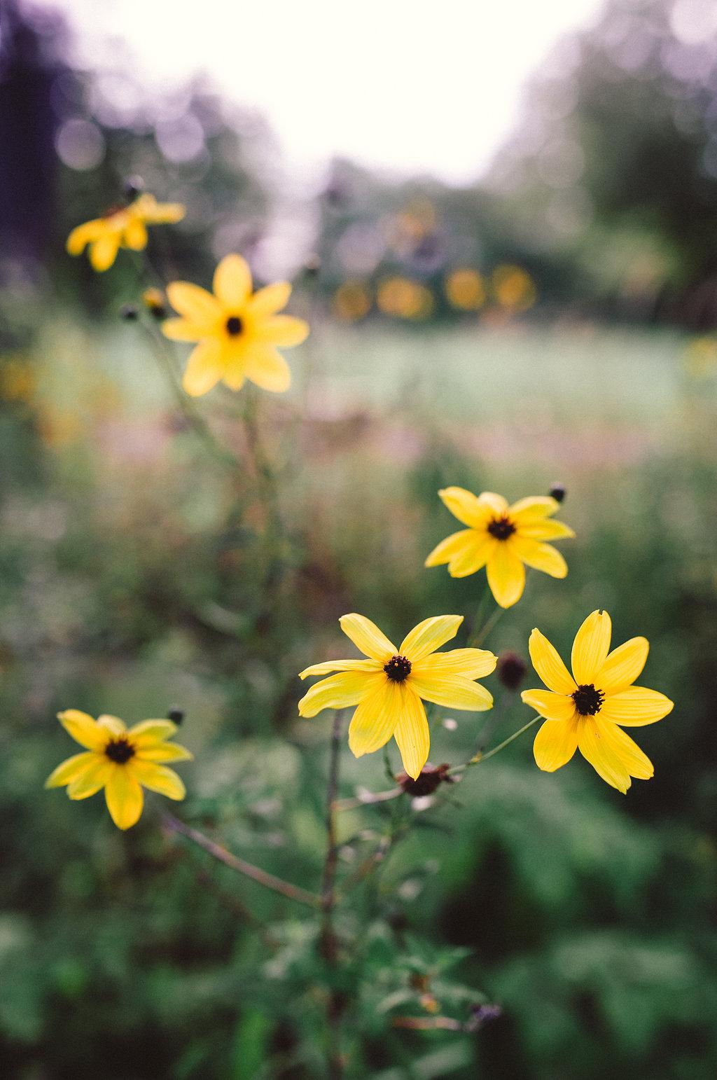 yellow flowers - Rochester Michigan photographer