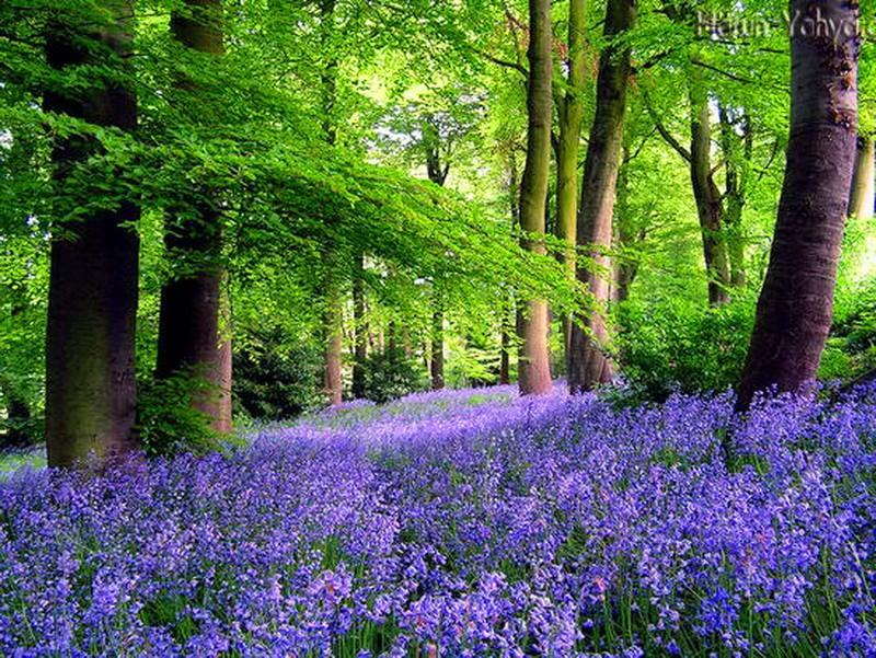 forest-spring-beneath-feet-flowers-purple-sunlight-green-trees-carpet-nature-hd.jpg