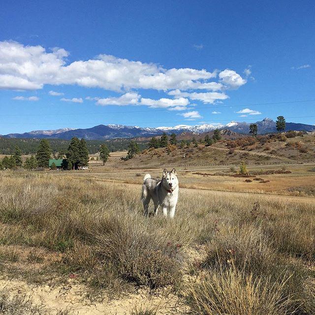 Little bit of land suits you, Papou #husky #rockymountainlife