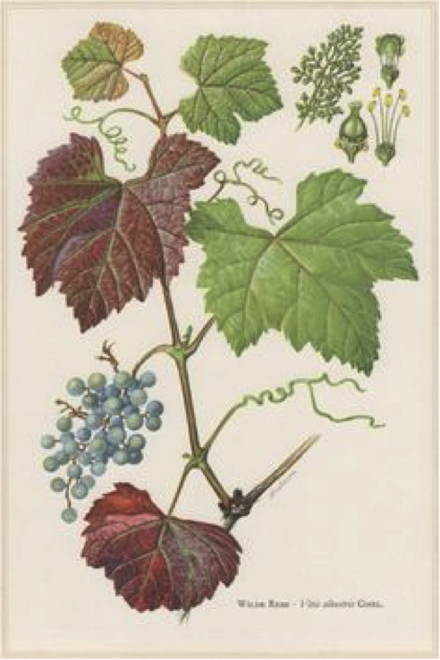 Ayurvedic Diet_Grapes.jpg