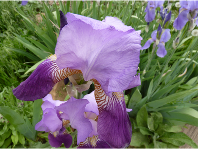 Aroma of propolis, beeswax, honey Mingles with lilac and iris Fragrant May garden!