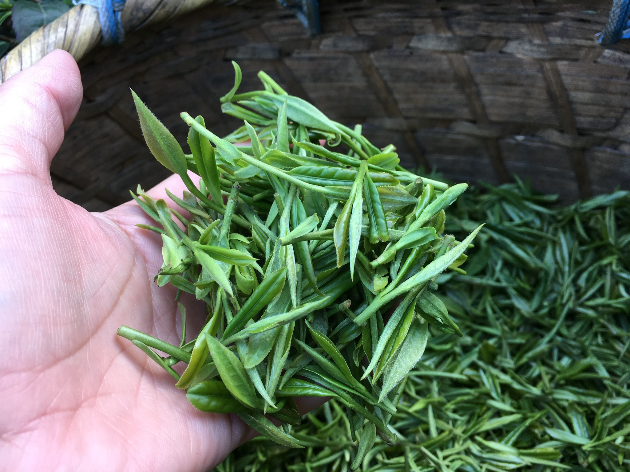 Holding Freshly Picked Green Tea Leaf