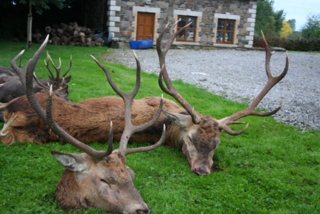Irish Red Stags.jpeg