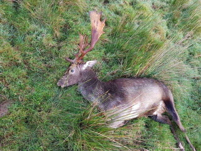 Fallow Deer Ireland (6).jpeg