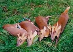 Roe Deer 3 (2).jpeg