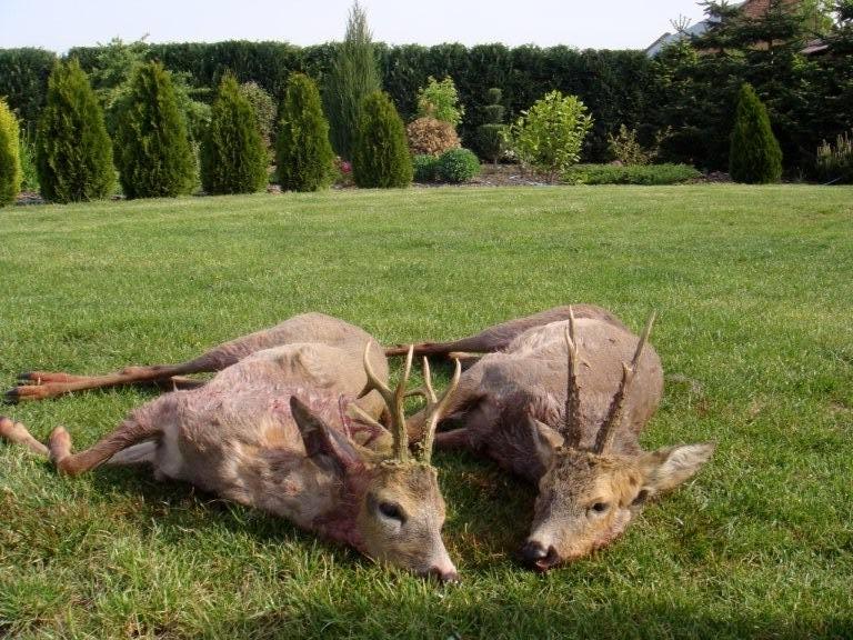 Roe Deer 3 (5).jpeg