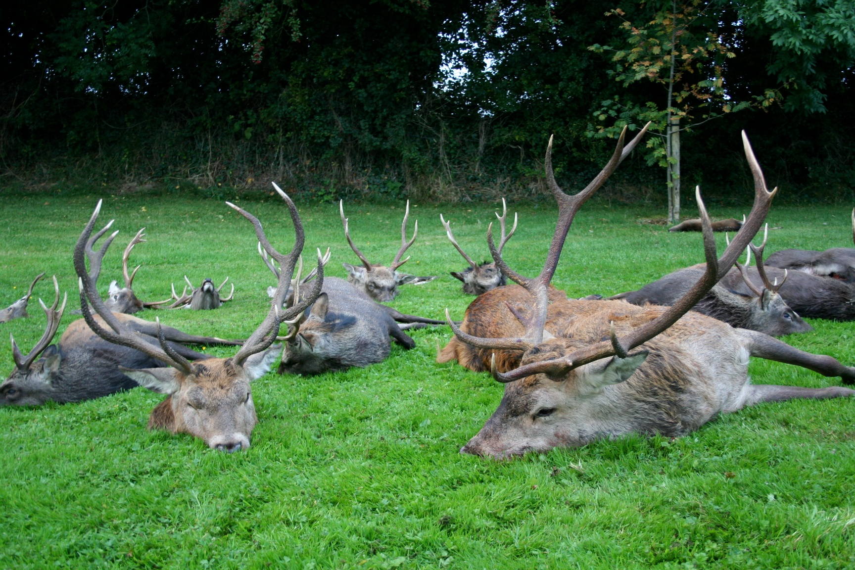 Red Stags 5.JPG